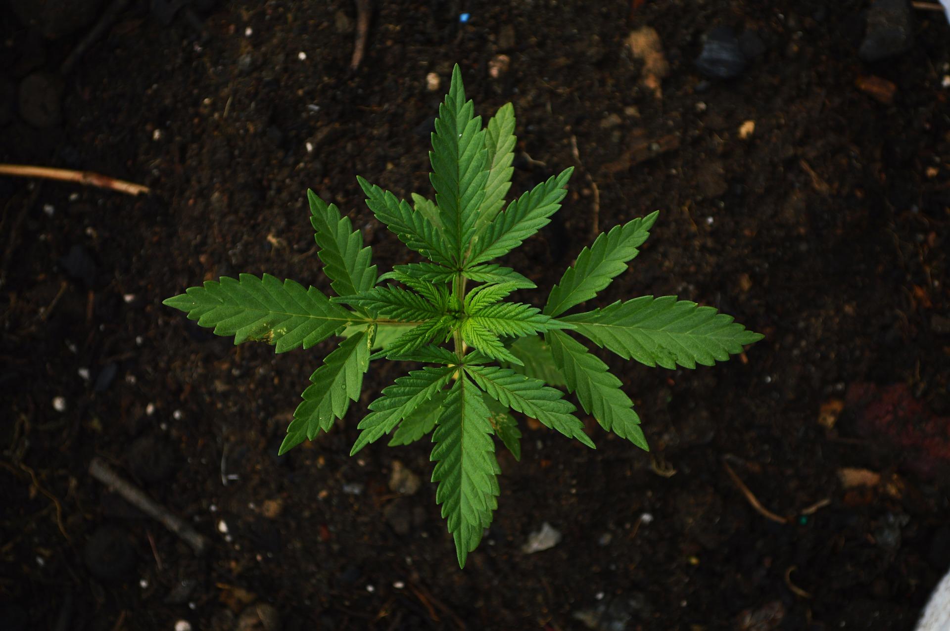 Топ-3 производителей марихуаны, которых нет на Robinhood